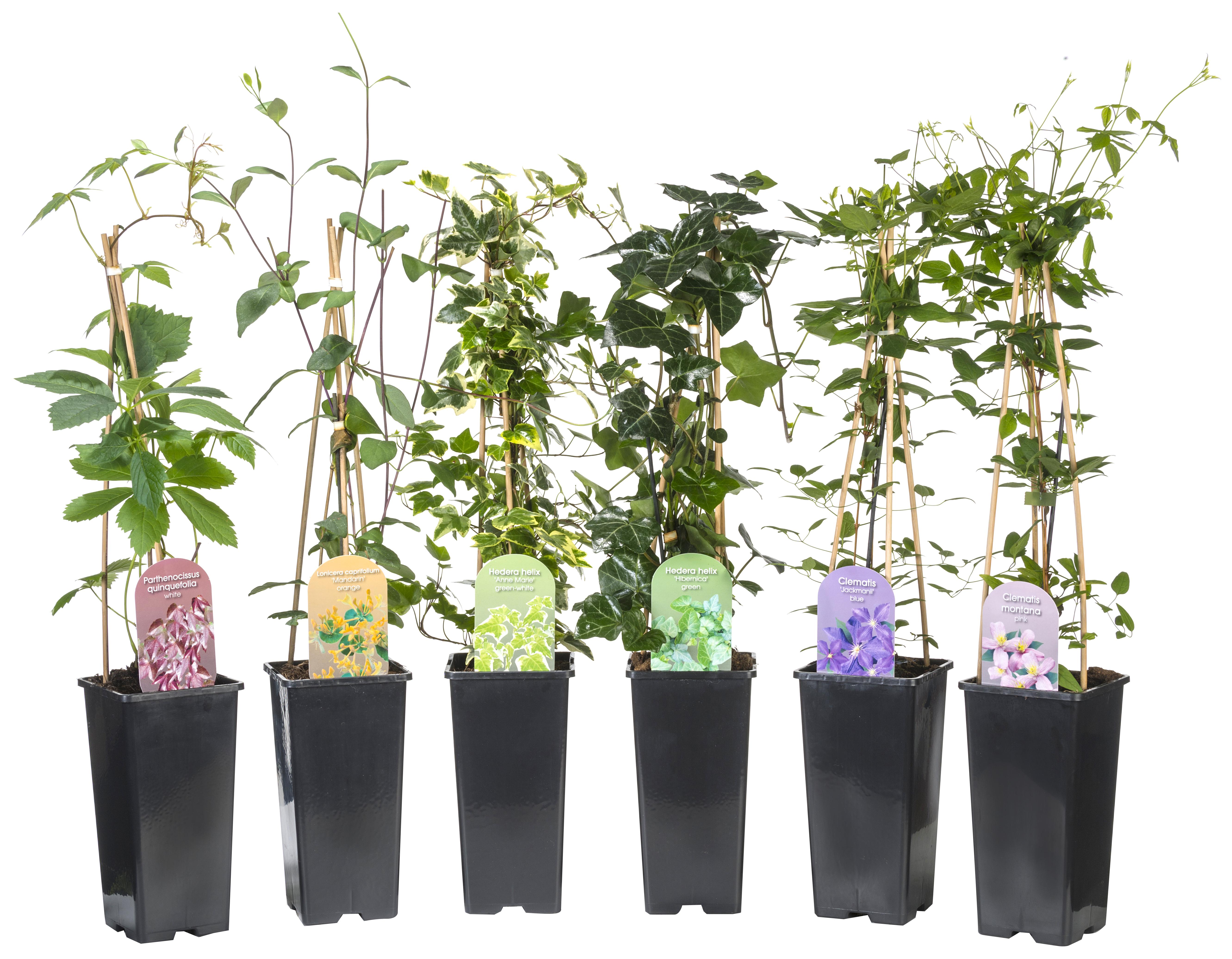 Kletterpflanzen aus dem Sortiment der Dominik GmbH & Co Pflanzenvertriebs KG