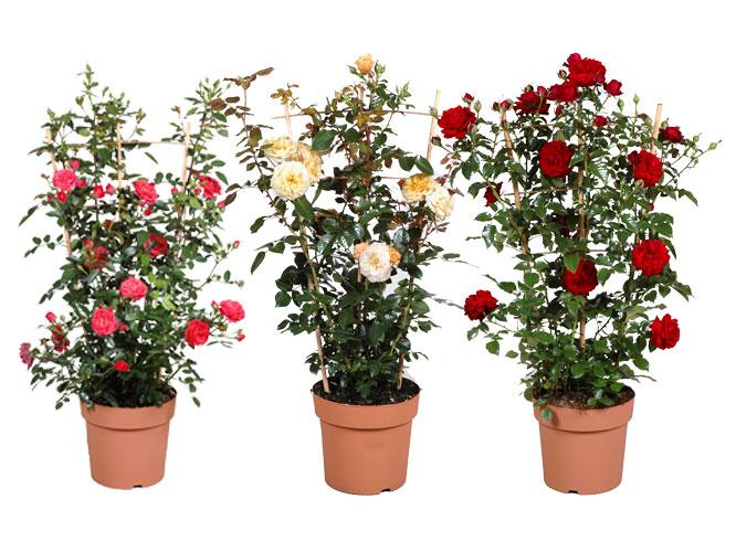 Unter Lizenz vermehrte Courtyard-Rosen von Dominik